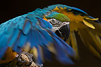 /images/133/2017-02-05-reid-macaw-1x_41026.jpg - #13631: Blue-and-Gold Macaw at Reid Park Zoo … February 2017 -- Reid Park Zoo, Tucson, Arizona