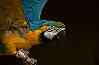 /images/133/2017-02-05-reid-macaw-1x_41028.jpg - #13632: Blue-and-Gold Macaw at Reid Park Zoo … February 2017 -- Reid Park Zoo, Tucson, Arizona
