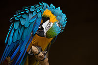 /images/133/2017-02-05-reid-macaw-1x_41064.jpg - #13634: Blue-and-Gold Macaw at Reid Park Zoo … February 2017 -- Reid Park Zoo, Tucson, Arizona
