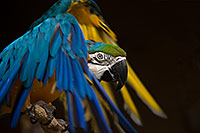 /images/133/2017-02-05-reid-macaw-28-1x_41029.jpg - #13635: Blue-and-Gold Macaw at Reid Park Zoo … February 2017 -- Reid Park Zoo, Tucson, Arizona