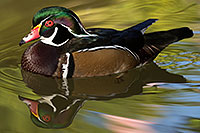 /images/133/2017-02-07-reid-wood-ducks-1x_41592.jpg - Birds > Wood Ducks