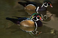 /images/133/2017-02-07-reid-wood-ducks-72-1x_41574.jpg - #13650: Wood Ducks at Reid Park Zoo … February 2017 -- Reid Park Zoo, Tucson, Arizona
