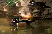 /images/133/2017-02-07-reid-wood-ducks-f-1x_41734.jpg - #13651: Wood Ducks at Reid Park Zoo … February 2017 -- Reid Park Zoo, Tucson, Arizona