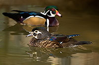 /images/133/2017-02-07-reid-wood-ducks-f-1x_41845.jpg - #13652: Wood Ducks at Reid Park Zoo … February 2017 -- Reid Park Zoo, Tucson, Arizona