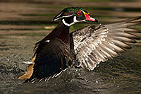 /images/133/2017-02-08-reid-wood-ducks-1x_42331.jpg - #13663: Wood Ducks at Reid Park Zoo … February 2017 -- Reid Park Zoo, Tucson, Arizona