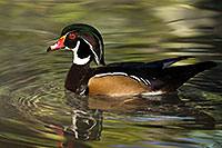/images/133/2017-02-08-reid-wood-ducks-1x_42393.jpg - #13666: Wood Duck at Reid Park Zoo … February 2017 -- Reid Park Zoo, Tucson, Arizona