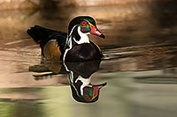 /images/133/2017-02-08-reid-wood-ducks-1x_42399.jpg - #13667: Wood Duck at Reid Park Zoo … February 2017 -- Reid Park Zoo, Tucson, Arizona
