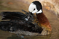 /images/133/2017-02-09-reid-whistling-1x_42666.jpg - #13673: White Faced Whistling Duck at Reid Park Zoo … February 2017 -- Reid Park Zoo, Tucson, Arizona