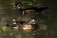 /images/133/2017-02-09-reid-wood-ducks-1x_42963.jpg - #13685: Wood Ducks in Tucson … February 2017 -- Reid Park Zoo, Tucson, Arizona