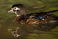 /images/133/2017-02-09-reid-wood-ducks-1x_43181.jpg - #13688: Wood Duck in Tucson … February 2017 -- Reid Park Zoo, Tucson, Arizona
