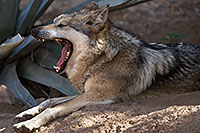 /images/133/2017-02-12-desert-wolf-1x2_2433.jpg - #13720: Mexican Wolf at Arizona Sonora Desert Museum … February 2017 -- Arizona-Sonora Desert Museum, Tucson, Arizona