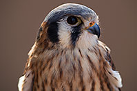 /images/133/2017-02-12-museum-kestrel-1x2_2519.jpg - #13731: Kestrel in Tucson … February 2017 -- Arizona-Sonora Desert Museum, Tucson, Arizona