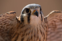 /images/133/2017-02-12-museum-kestrel-1x2_2587.jpg - #13728: Kestrel in Tucson … February 2017 -- Arizona-Sonora Desert Museum, Tucson, Arizona