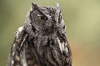 /images/133/2017-02-12-museum-screech-owl-1x2_3092.jpg - #13730: Western Screech Owl in Tucson … February 2017 -- Arizona-Sonora Desert Museum, Tucson, Arizona