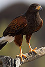 /images/133/2017-02-14-museum-harris-1x2_3560v.jpg - #13734: Harris Hawk at Arizona Sonora Desert Museum … February 2017 -- Arizona-Sonora Desert Museum, Tucson, Arizona