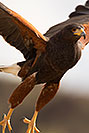 /images/133/2017-02-14-museum-harris-1x2_3688v.jpg - #13736: Harris Hawk at Arizona Sonora Desert Museum … February 2017 -- Arizona-Sonora Desert Museum, Tucson, Arizona