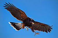 /images/133/2017-02-15-museum-harris-1x2_5476.jpg - #13739: Harris Hawk at Arizona Sonora Desert Museum … February 2017 -- Arizona-Sonora Desert Museum, Tucson, Arizona