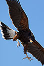/images/133/2017-02-15-museum-harris-1x2_5476v.jpg - #13740: Harris Hawk at Arizona Sonora Desert Museum … February 2017 -- Arizona-Sonora Desert Museum, Tucson, Arizona