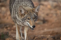 /images/133/2017-02-17-museum-coyote-1x2_5955.jpg - #13742: Coyote at Arizona Sonora Desert Museum … February 2017 -- Arizona-Sonora Desert Museum, Tucson, Arizona