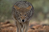 /images/133/2017-02-17-museum-coyote-1x2_5959.jpg - #13744: Coyote at Arizona Sonora Desert Museum … February 2017 -- Arizona-Sonora Desert Museum, Tucson, Arizona