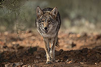 /images/133/2017-02-17-museum-coyote-1x2_5979.jpg - #13746: Coyote at Arizona Sonora Desert Museum … February 2017 -- Arizona-Sonora Desert Museum, Tucson, Arizona