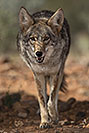 /images/133/2017-02-17-museum-coyote-1x2_5979v.jpg - #13747: Coyote at Arizona Sonora Desert Museum … February 2017 -- Arizona-Sonora Desert Museum, Tucson, Arizona