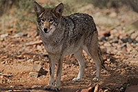 /images/133/2017-02-17-museum-coyote-1x2_6017.jpg - #13748: Coyote at Arizona Sonora Desert Museum … February 2017 -- Arizona-Sonora Desert Museum, Tucson, Arizona