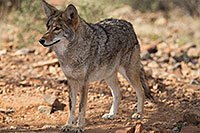 /images/133/2017-02-17-museum-coyote-1x2_6024.jpg - #13749: Coyote at Arizona Sonora Desert Museum … February 2017 -- Arizona-Sonora Desert Museum, Tucson, Arizona