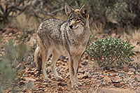 /images/133/2017-02-17-museum-coyote-1x2_6138.jpg - #13750: Coyote at Arizona Sonora Desert Museum … February 2017 -- Arizona-Sonora Desert Museum, Tucson, Arizona