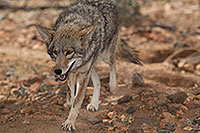 /images/133/2017-02-17-museum-coyote-1x2_6152.jpg - #13752: Coyote at Arizona Sonora Desert Museum … February 2017 -- Arizona-Sonora Desert Museum, Tucson, Arizona