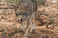 /images/133/2017-02-17-museum-coyote-1x2_6162.jpg - #13754: Coyote at Arizona Sonora Desert Museum … February 2017 -- Arizona-Sonora Desert Museum, Tucson, Arizona