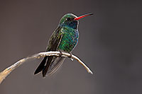 /images/133/2017-02-18-museum-hum-broad-1x2_6895.jpg - #13766: Broad Billed Hummingbird at Arizona Sonora Desert Museum … February 2017 -- Arizona-Sonora Desert Museum, Tucson, Arizona