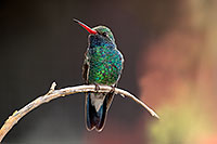 /images/133/2017-02-18-museum-hum-broad-1x2_6900.jpg - #13767: Broad Billed Hummingbird at Arizona Sonora Desert Museum … February 2017 -- Arizona-Sonora Desert Museum, Tucson, Arizona