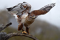 /images/133/2017-02-19-museum-ferruginous-1x2_6957.jpg - #13772: Ferruginous Hawk at Arizona Sonora Desert Museum … February 2017 -- Arizona-Sonora Desert Museum, Tucson, Arizona
