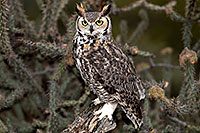 /images/133/2017-02-19-museum-great-owl-1x2_6912.jpg - #13779: Great Horned Owl at Arizona Sonora Desert Museum … February 2017 -- Arizona-Sonora Desert Museum, Tucson, Arizona