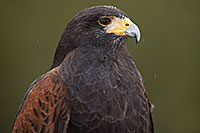 /images/133/2017-02-19-museum-harris-1x2_7005.jpg - #13780: Harris Hawk at Arizona Sonora Desert Museum … February 2017 -- Arizona-Sonora Desert Museum, Tucson, Arizona