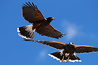 /images/133/2017-02-20-museum-harris-1x2_7649.jpg - #13793: Harris Hawks at Arizona Sonora Desert Museum … February 2017 -- Arizona-Sonora Desert Museum, Tucson, Arizona