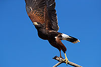 /images/133/2017-02-20-museum-harris-88-1x2_7689.jpg - #13795: Harris Hawk at Arizona Sonora Desert Museum … February 2017 -- Arizona-Sonora Desert Museum, Tucson, Arizona