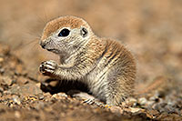 /images/133/2017-05-15-tucson-creatures-1x2_1589.jpg - #13798: Blue eyed baby Round Tailed Ground Squirrel … May 2017 -- Tucson, Arizona