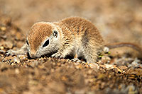 /images/133/2017-05-15-tucson-creatures-1x2_1601.jpg - #13799: Blue eyed baby Round Tailed Ground Squirrel … May 2017 -- Tucson, Arizona