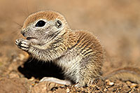 /images/133/2017-05-15-tucson-creatures-1x2_1606.jpg - #13800: Blue eyed baby Round Tailed Ground Squirrel … May 2017 -- Tucson, Arizona