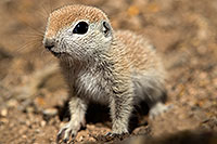 /images/133/2017-05-15-tucson-creatures-1x2_1702.jpg - #13801: Blue eyed baby Round Tailed Ground Squirrel … May 2017 -- Tucson, Arizona