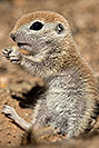 /images/133/2017-05-15-tucson-creatures-1x2_1871v.jpg - #13802: Blue eyed baby Round Tailed Ground Squirrel … May 2017 -- Tucson, Arizona