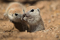 /images/133/2017-05-15-tucson-creatures-1x2_2000.jpg - #13803: Round Tailed Ground Squirrels … May 2017 -- Tucson, Arizona