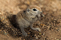 /images/133/2017-05-15-tucson-creatures-1x2_2171.jpg - #13804: Blue eyed baby Round Tailed Ground Squirrel … May 2017 -- Tucson, Arizona