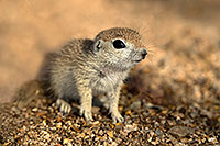 /images/133/2017-05-15-tucson-creatures-1x2_2191.jpg - #13805: Blue eyed baby Round Tailed Ground Squirrel … May 2017 -- Tucson, Arizona