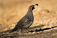 /images/133/2017-05-15-tucson-quail-1x2_2200.jpg - #13811: Gambels Quail (male) in Tucson … May 2017 -- Tucson, Arizona