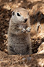 /images/133/2017-05-16-tucson-creatures-1x2_2499v.jpg - #13811: Round Tailed Ground Squirrels … May 2017 -- Tucson, Arizona