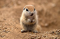 /images/133/2017-05-16-tucson-creatures-1x2_2666.jpg - #13812: Round Tailed Ground Squirrels … May 2017 -- Tucson, Arizona