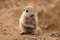 /images/133/2017-05-16-tucson-creatures-1x2_2674.jpg - #13813: Round Tailed Ground Squirrels … May 2017 -- Tucson, Arizona